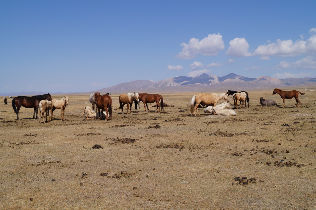 Horses waiting to be milked near Lake Song Kol at an elevation exceeding 9,895 feet above sea level (Photo by Kirsten Koza)