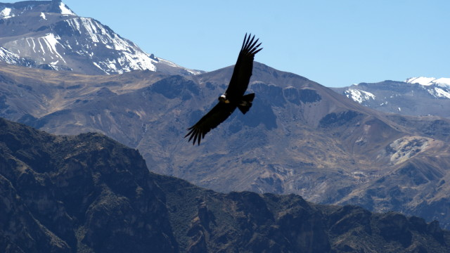 Condor, Colca Canyon, Peru (photo by Kirsten Koza)