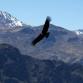 Condor, Colca Canyon, Peru (photo by Kirsten Koza)