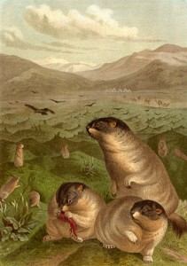 I was going to die by marmot. Marmot drawing, Brehms Tierleben. (image Public Domain)